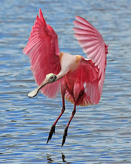 Roseate Spoonbill, Everglades National Park
