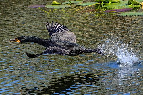 Cormorant on Takeoff