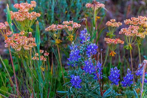 Grand Teton Wildflowers 2