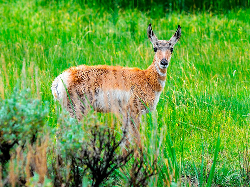 Pronghorn (Juvenile)