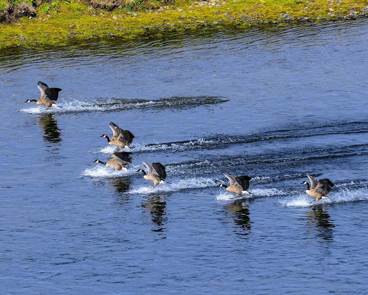 Canadian Geese Splashdown