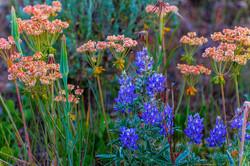 Teton Wildflowers 2