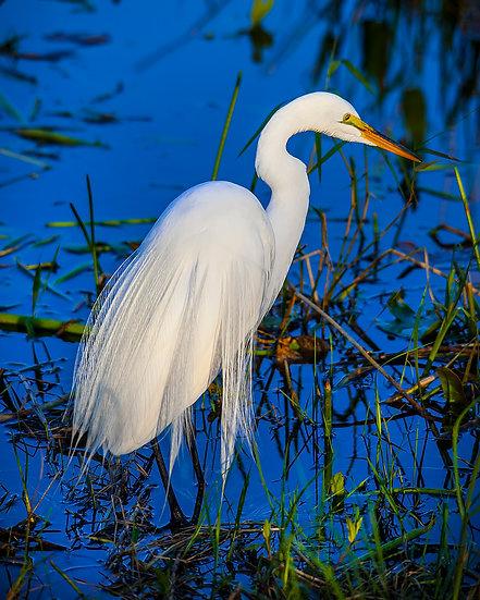 White Egret with Breeding Plumage