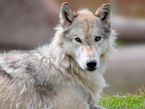Gray Wolf Closeup