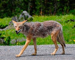 Coyote fixed