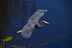 Little Blue Heron, Everglades NP