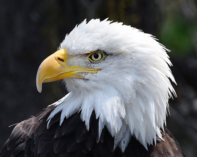 Bald Eagle Closeup