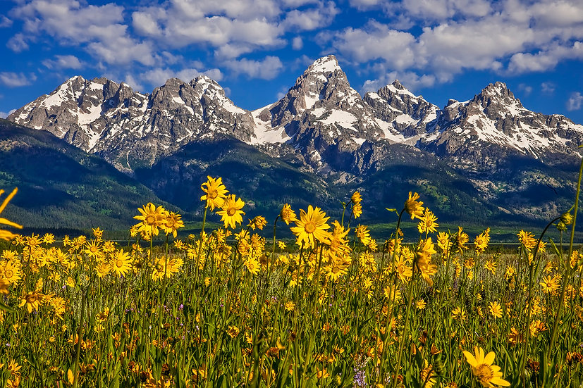 Grand Teton and Balsamroot Wildflowers