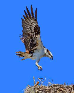 Osprey, Everglades National Park