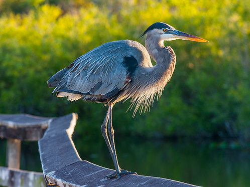 Great Blue Heron (Perched)
