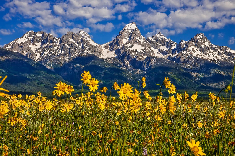 Grand Teton with Balsamroot Wildflowers