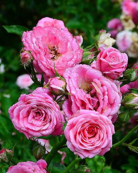 Pink Roses in Virginia