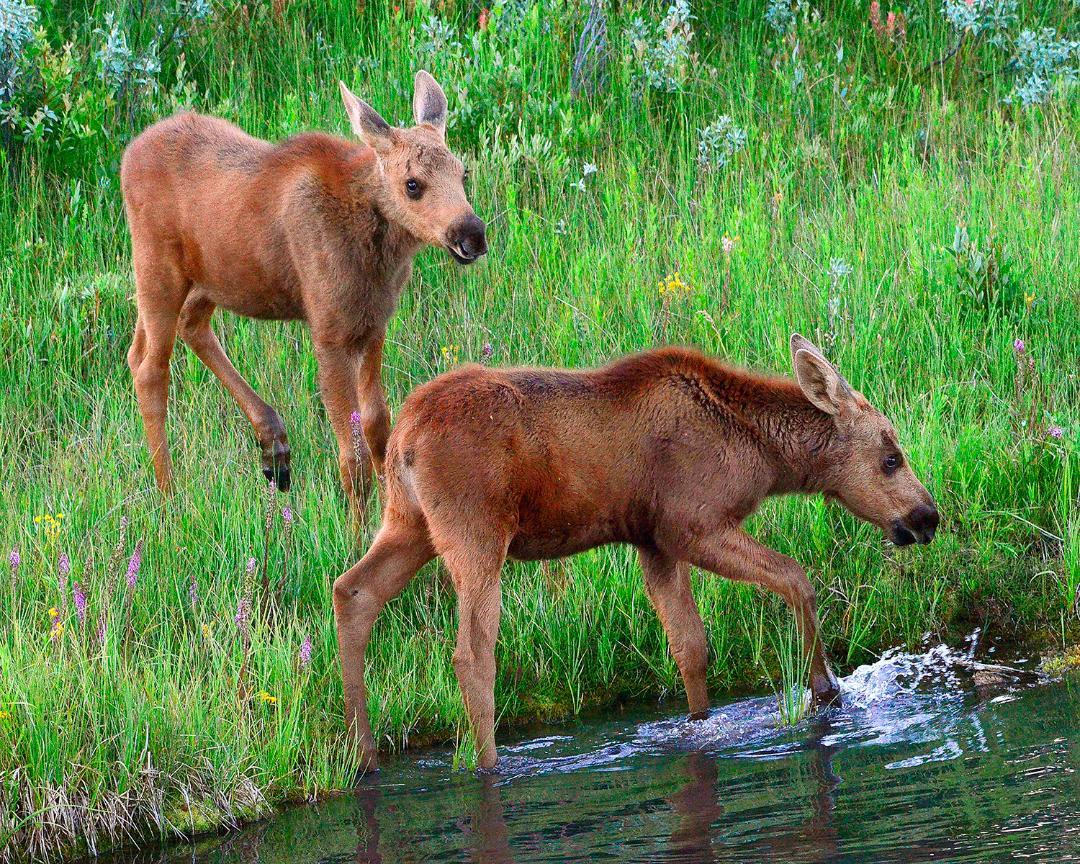 Baby Moose Calves