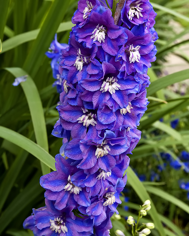 Blue and Purple Larkspur
