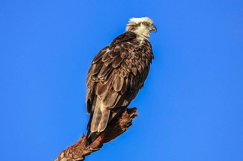 Osprey - What R U Lookin' At!!