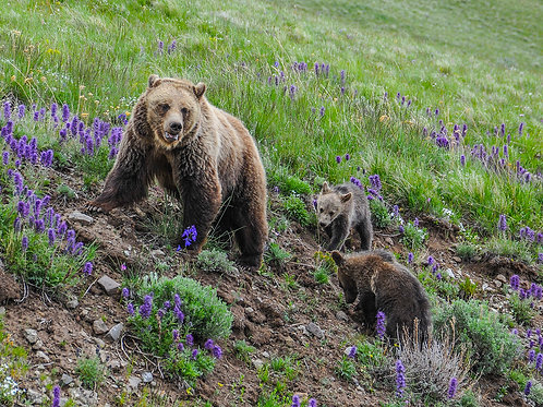 Mama Grizzly and Cubs