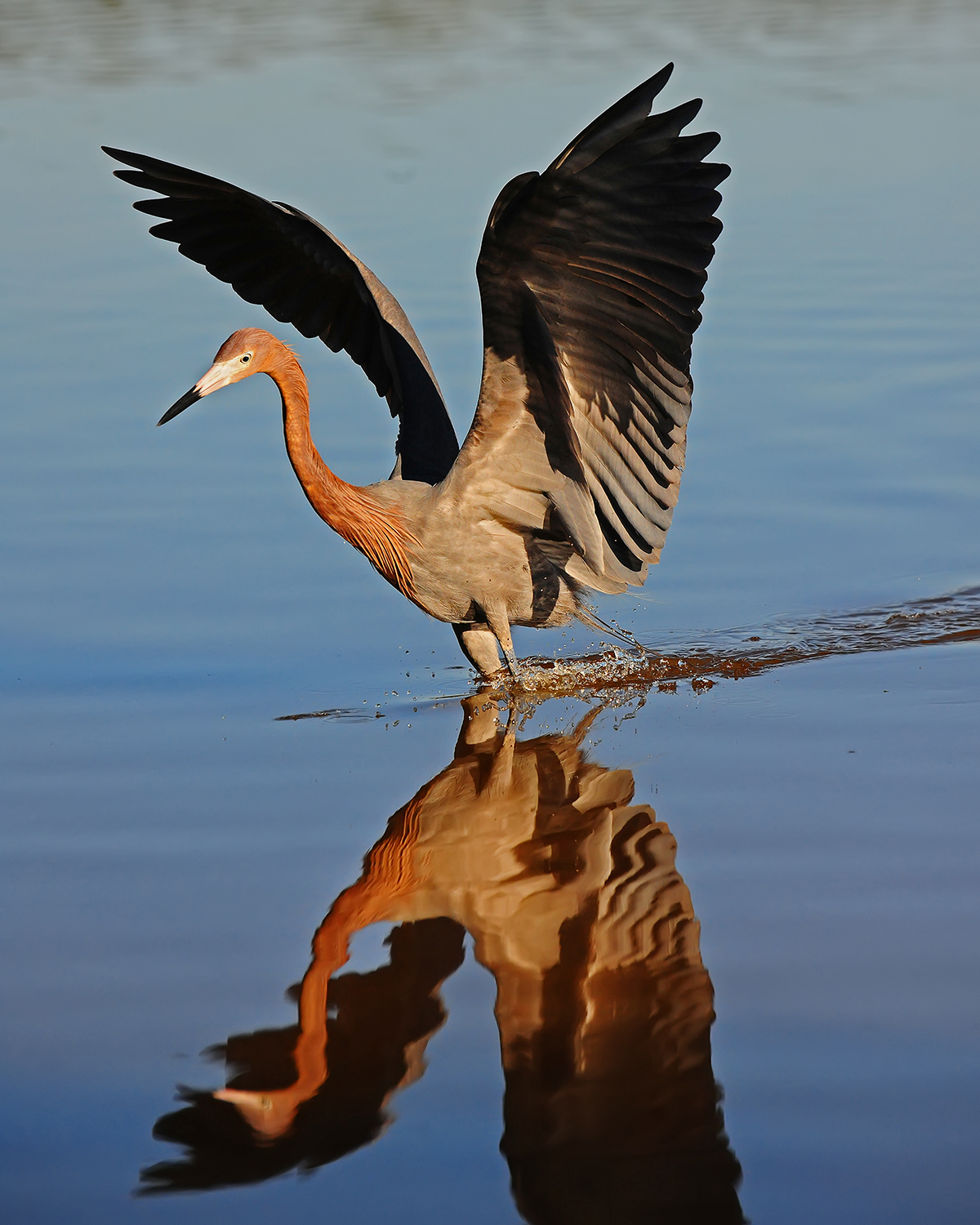 Reddish Egret, Everglades National Park