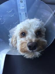harley after surgery Feb 2016.JPG