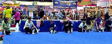 12-12 Biewer Terriers in the ring.JPG