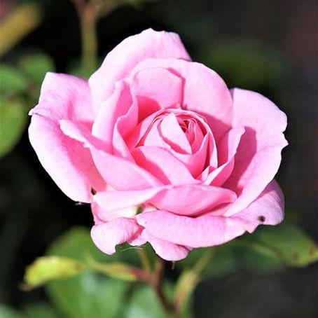 Bulgarian Rose Absolute for skincare