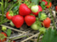 strawberry-plaxtol-nursery.webp