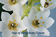 Star of Bethlehem Flower prayer.jpg