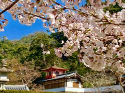桜と鳳凰閣
