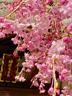 しだれ桜と護摩堂