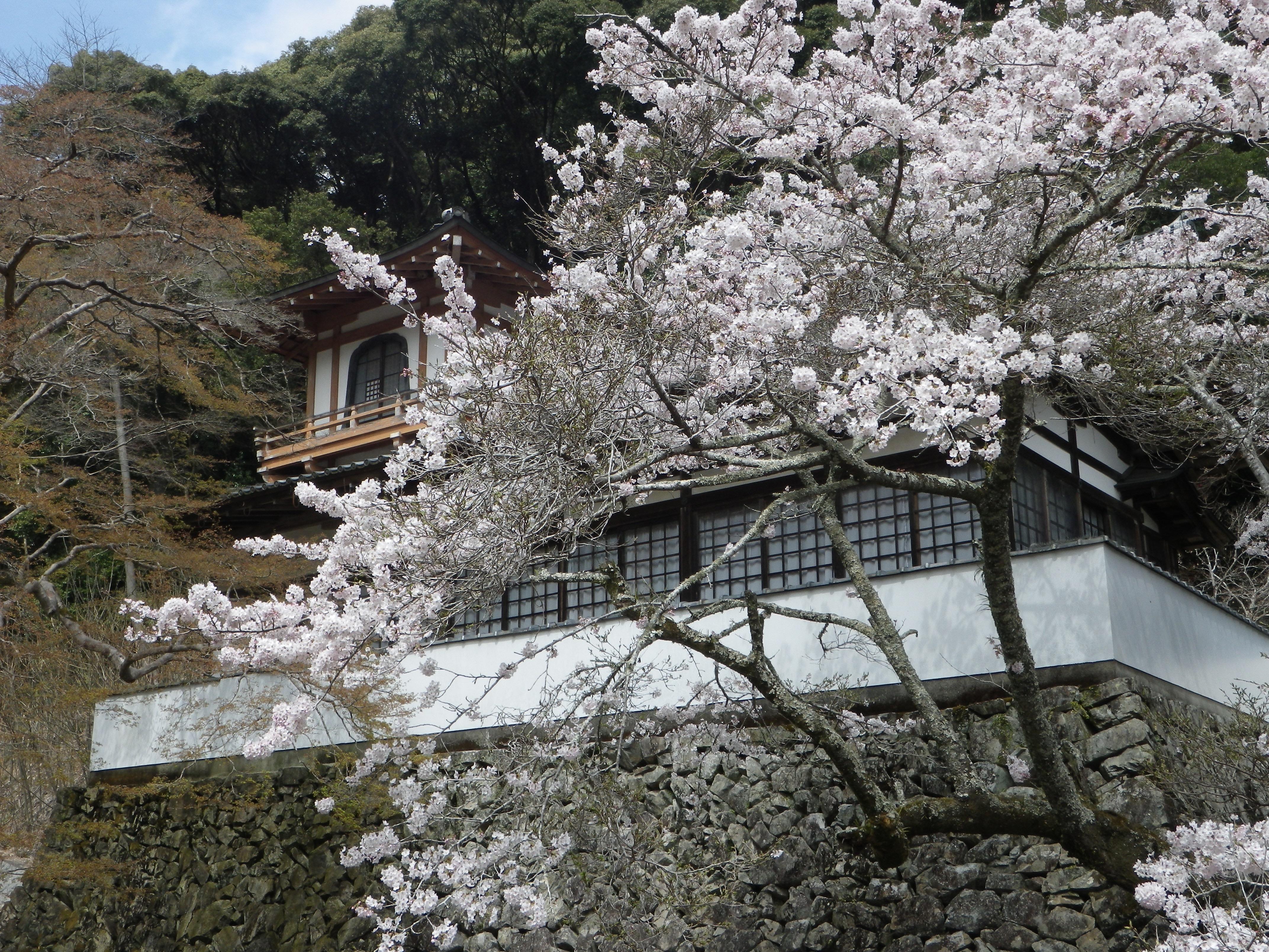 鳳凰閣と桜