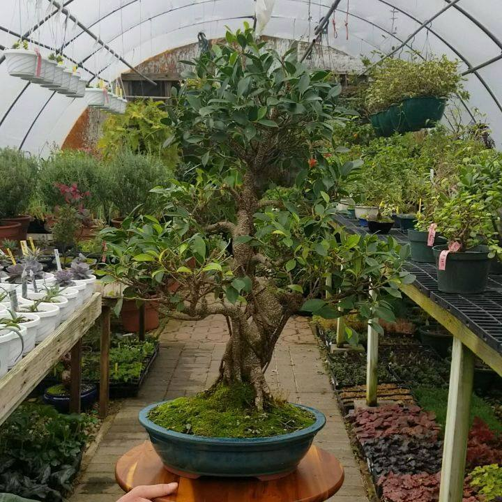 Our specimen Golden Gate Ficus Bonsai (Ficus microcarpa Golden Gate). Golden Gate Ficus are fantastic bonsai with their dark green leaves and trained serpentine trunks. . . . . . #Reminiscent #bonsai #ficus #goldengate #ficusmicrocarpa #ficusbonsai #