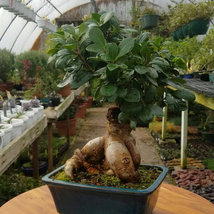 A Ginseng Grafted Ficus (Ficus microcarpa Ginseng). These are a perfect bonsai for beginners due to their easy care.  They make a great indoor and outdoor bonsai! . . . . . #bonsai #ginsenggraftedficus #ficus #ficusmicrocarpa #ficusretusa #ficusbonsa