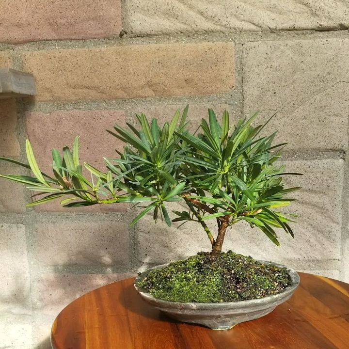A Buddhist Pine Bonsai (Podocarpus Macrophyllus) in a handmade pot by Jaime's Art Pottery. Be sure to check out Jaime's page to see some of the wonderful work that he does.  Podocarpus make a great indoor and outdoor bonsai with its attractive evergr