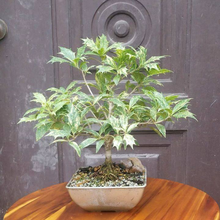 A Goshiki False Holly (Osmanthus heterophyllus Goshiki).  Goshiki means 'five colored' in Japanese and refers to the various colors found on each leaf. This is a very unique evergreen Bonsai. . . . . . #falseholly #goshiki #osmanthus  #bonsai #bonsai