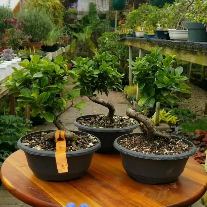 A few of the Green Gem Ficus Bonsai (Ficus microcarpa nitoda 'Green  Gem') starters we got from @wigertsbonsai.  Like other Ficus Bonsai the Green Gem is a great plant for beginners and experts. . . . . . #greengemficus #ficusbonsai #ficus #ficustree