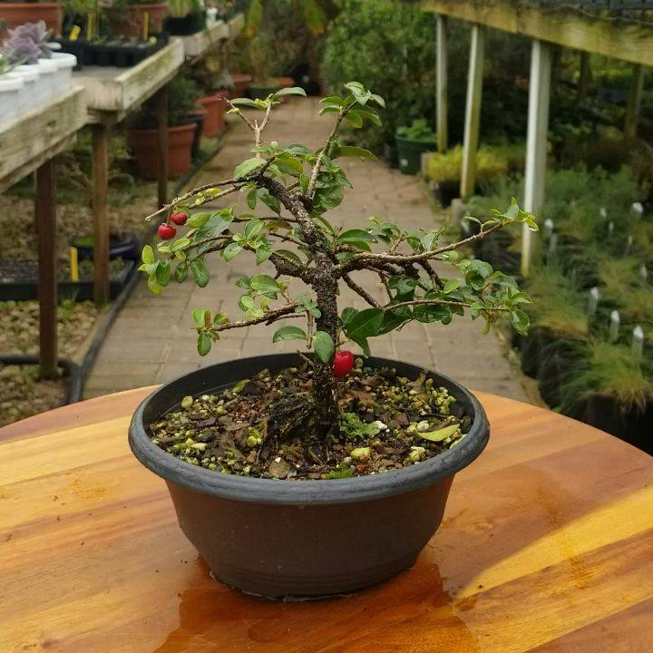 A Barbados Cherry (Malpighia) Bonsai.  Love the little fruit of this plant 🍒 . . . . . #barbadoscherry #barbadoscherrytree #malpighia #cherry #bonsailove #bonsaigram #bonsaiart #bonsai #bonsaitree #bonsaipot #bonsaiofinstagram #bonsailife #bonsaiworl