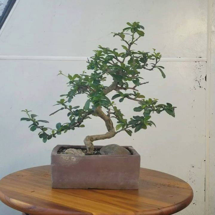 The Fukien Tea (Carmona retusa) makes for a great bonsai with it's dark green shiny leaves and it's tiny white flowers. . . . . . #fukientea #carmonaretusa #fukienteabonsai #fukienteatree #bonsailife #bonsaipot #bonsaitree #bonsaiofinstagram #bonsail