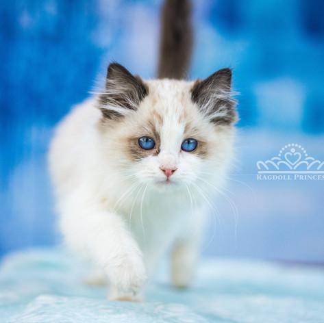 seal bicolor ragdoll kitten