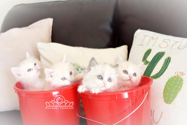 Ragdll Kittens
