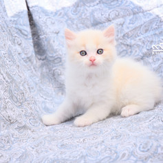 Ragdoll Princess KittenRagdoll Princess Kitten