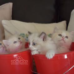 Ragdoll Princess Kittens