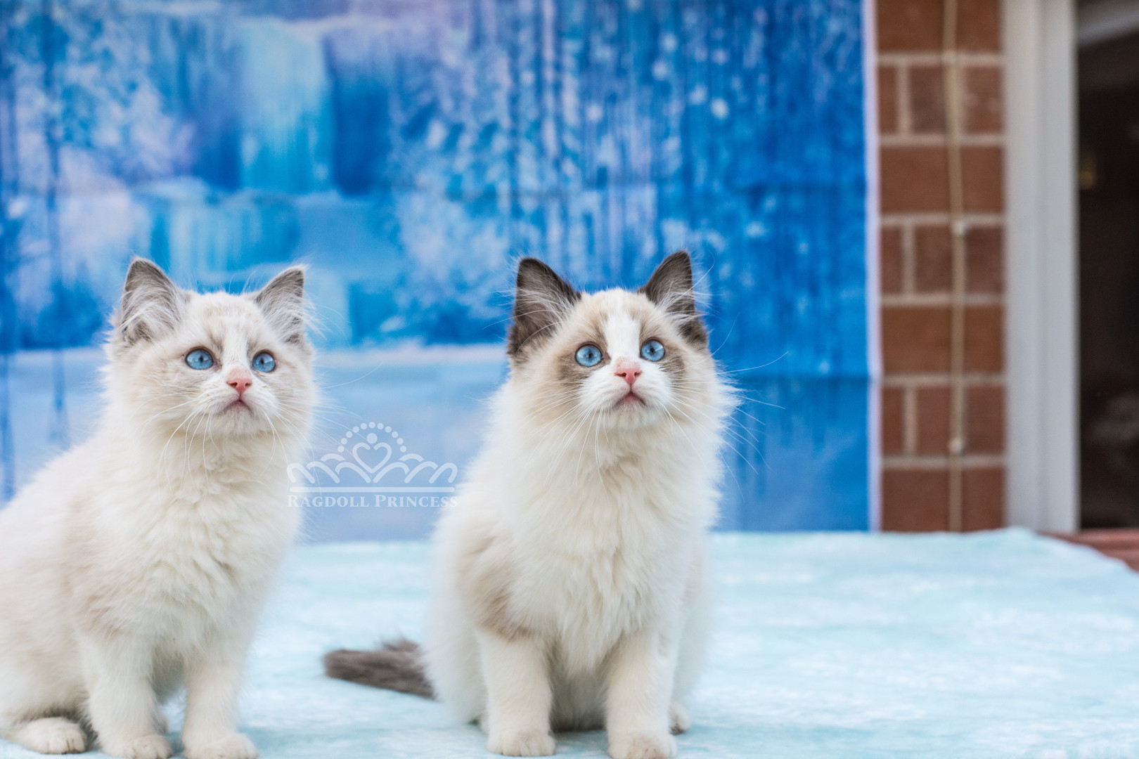 blue and seal bicolor ragdoll kitten