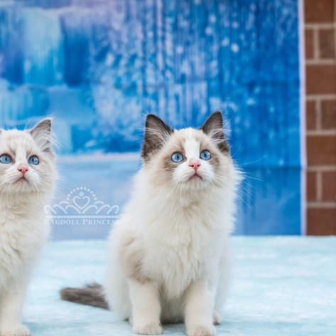 Blue and seal bicolor ragdoll kitten
