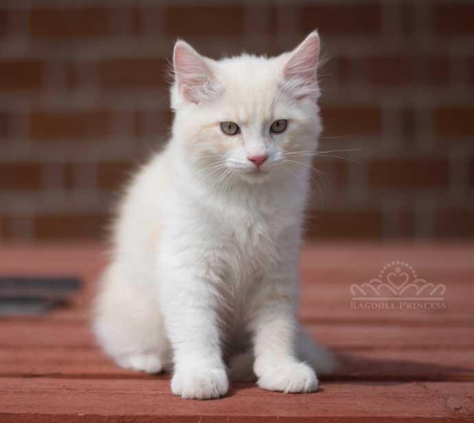 Ragdoll Cream lynx