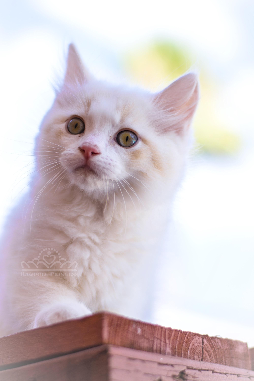 Cream bicolor ragdoll cat