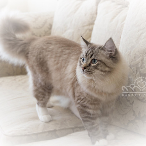 Ragdoll Princess Kitten