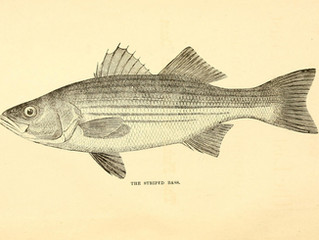 Fish of the Month: Striped Bass (morone saxatilis)