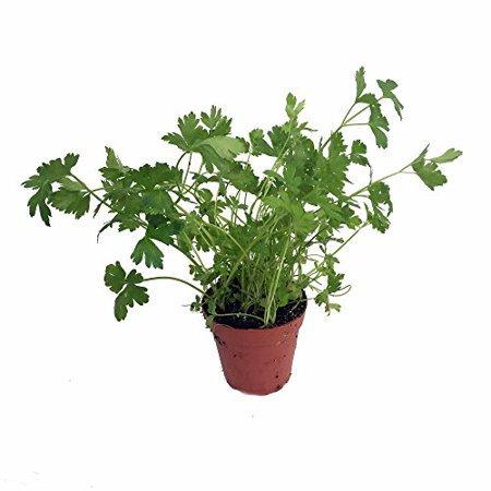 Flat leaf Parsley-herb start