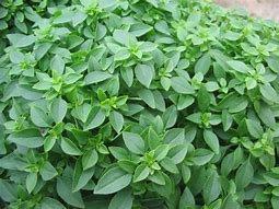 Micro Basil(Greek)-herb start