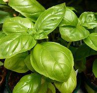 Genovese basil-herb starts