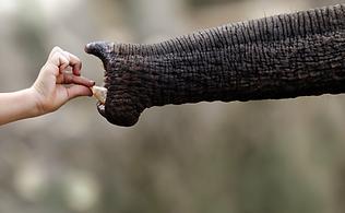Hand Feeding Elephant